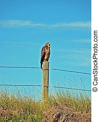 hawk - a hawk sitting on a fence post