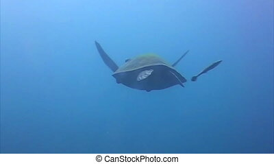 hawksbill żółw morski, morze