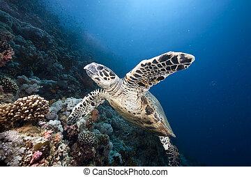 hawksbill, océano, sol, tortuga