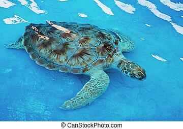hawksbill overzeese schildpad, eretmochelys, imbricata, is,...