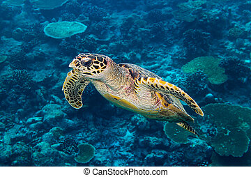 hawksbill sea turtle coral reef background