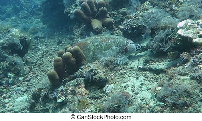 Hawksbill sea turtle current on coral reef island Bali.