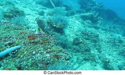 Hawksbill sea turtle current on coral reef island Bali