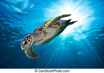 hawksbill sea turtle dive down into the deep blue ocean ...