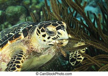 A Hawksbill Sea Turtle is dining on reef plants