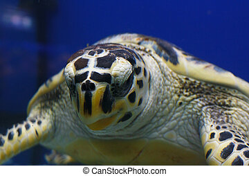 Hawksbill sea turtle (Eretmochelys imbricata), also known as the Bissa in habitat