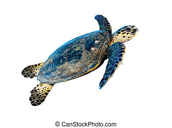 Hawksbill sea turtle (Eretmochelys imbricata), isolated on ...