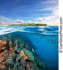 Hawksbill Sea Turtle exploring coral reef under water...
