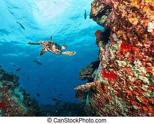 Hawksbill Sea Turtle flowing in coral reef