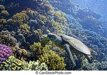 Hawksbill Sea Turtle glides over pristine coral reef