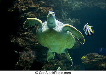 hawksbill sea turtle, Eretmochelys imbricata, is a critically endangered sea turtle belonging to the family Cheloniidae
