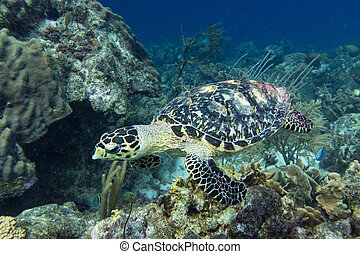Hawksbill sea turtle in coral reef