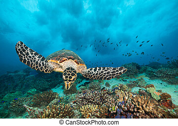 Hawksbill Sea Turtle in Indian ocean - Hawksbill Sea Turtle...