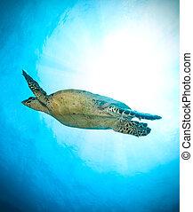 Hawksbill Sea Turtle in ocean
