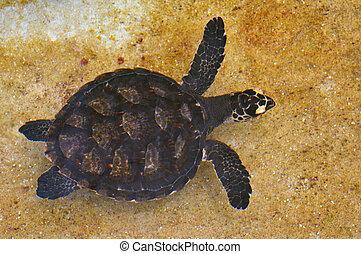 Hawksbill Sea Turtle off the coast of Fiji. It is critically...