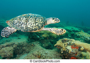 Hawksbill Sea Turtle on a reef in south east Florida.