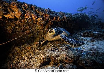 Hawksbill Sea Turtle on shipwreck - a hawksbill sea turtle ...