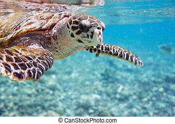 Hawksbill sea turtle - Close up of Hawksbill sea turtle...