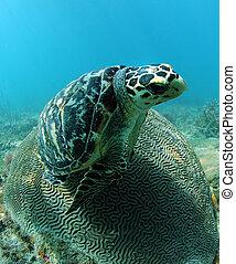 Hawksbill sea turtle resting on brain coral