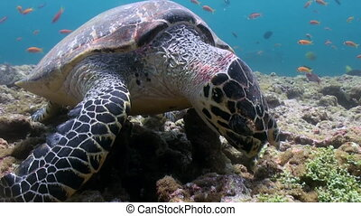 Hawksbill sea turtle swimming eating on coral reef. Amazing, beautiful underwater marine life world of sea creatures in Maldives. Scuba diving and tourism.