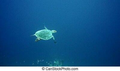 Hawksbill Sea Turtle swimming in blue water. Red Sea. 4K