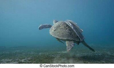 Hawksbill Sea Turtle swimming in blue water