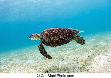 Hawksbill sea turtle swimming in tropical ocean