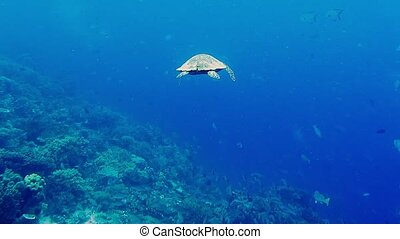 Hawksbill sea turtle swimming over hard and soft coral reef...