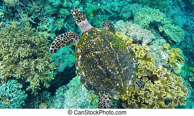 Hawksbill sea turtle swimming over hard and soft coral reef in the Raja Ampat Kri island, West Papua, Indonesia