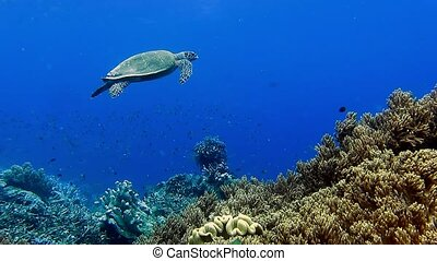 Hawksbill sea turtle swimming over the edge of coral reef...