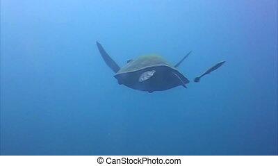 Hawksbill Sea turtle swimming at far.