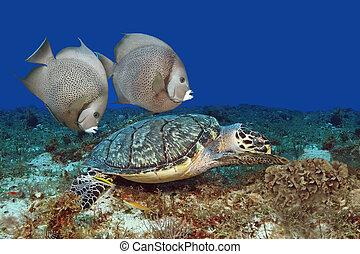 Hawksbill Turtle and Gray Angelfish - Pair of Gray Angelfish...
