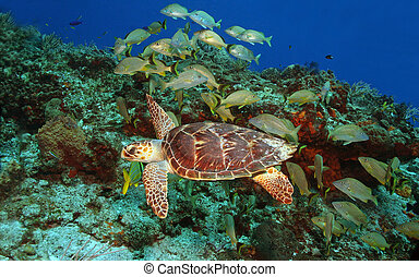 Hawksbill Turtle and School of Fish