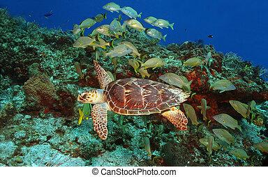 Hawksbill Turtle and School of Fish - Hawksbill Turtle (...