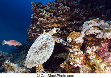Hawksbill turtle and tropical reef in the Red Sea. - ...