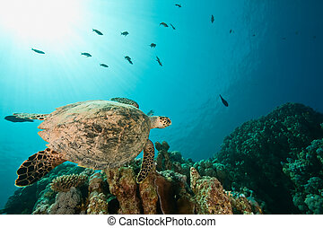 hawksbill turtle around Sha'ab Mahmud