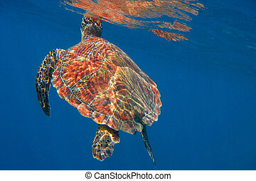 hawksbill turtle at breath