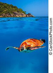 Hawksbill Turtle at Similan Islands