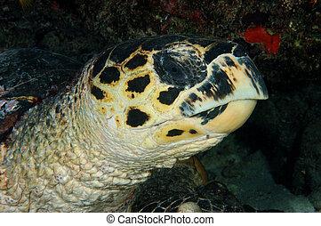 Hawksbill turtle - closeup - Eretmochelys imbricata Maldives...