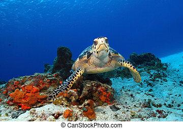 Hawksbill Turtle (Eretmochelys imbricata) Pausing to Look at Camera - Cozumel, Mexico