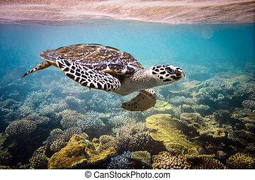 Hawksbill Turtle - Eretmochelys imbricata floats under water...