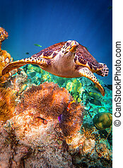 Hawksbill Turtle - Eretmochelys imbricata floats under water. Maldives - Ocean coral reef. Warning - authentic shooting underwater in challenging conditions. A little bit grain and maybe blurred.