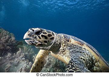 hawksbill turtle feeding - hawksbill turtle taken in the Red...