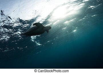 Hawksbill turtle floating in dark blue clear water