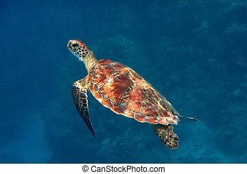 hawksbill turtle from side