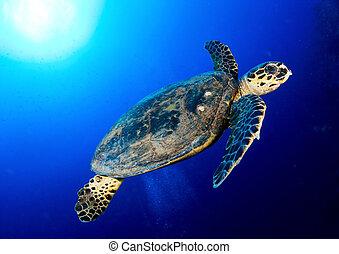 Hawksbill sea turtle (Eretmochelys imbricata) in deep blue, Red Sea, Egypt.