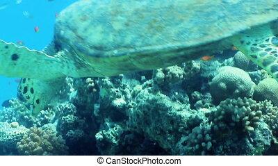 Hawksbill sea turtle (Eretmochelys imbricata) on the reef, Red Sea, Egypt.