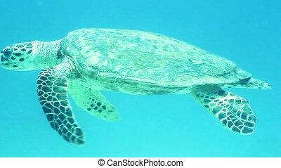 Hawksbill sea turtle (Eretmochelys imbricata) swimming in the Red Sea, Egypt.