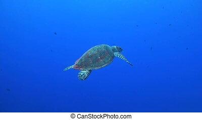 Hawksbill turtle swims in blue water
