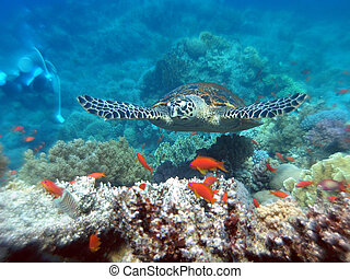 Hawksbill turtle in Red Sea